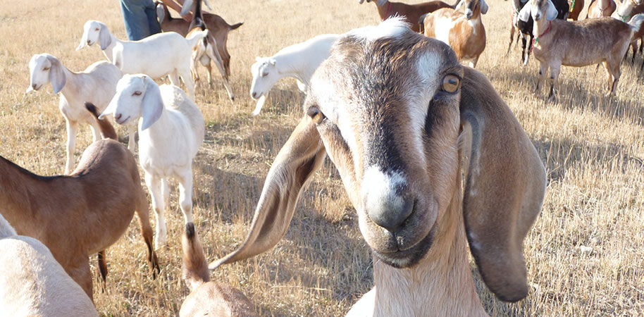 Nubian Goats from Windrift Hill Goat Milk Soaps in Conrad Montana