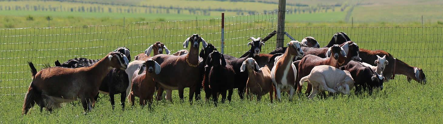 handmade goat milk soaps windrift hill montana