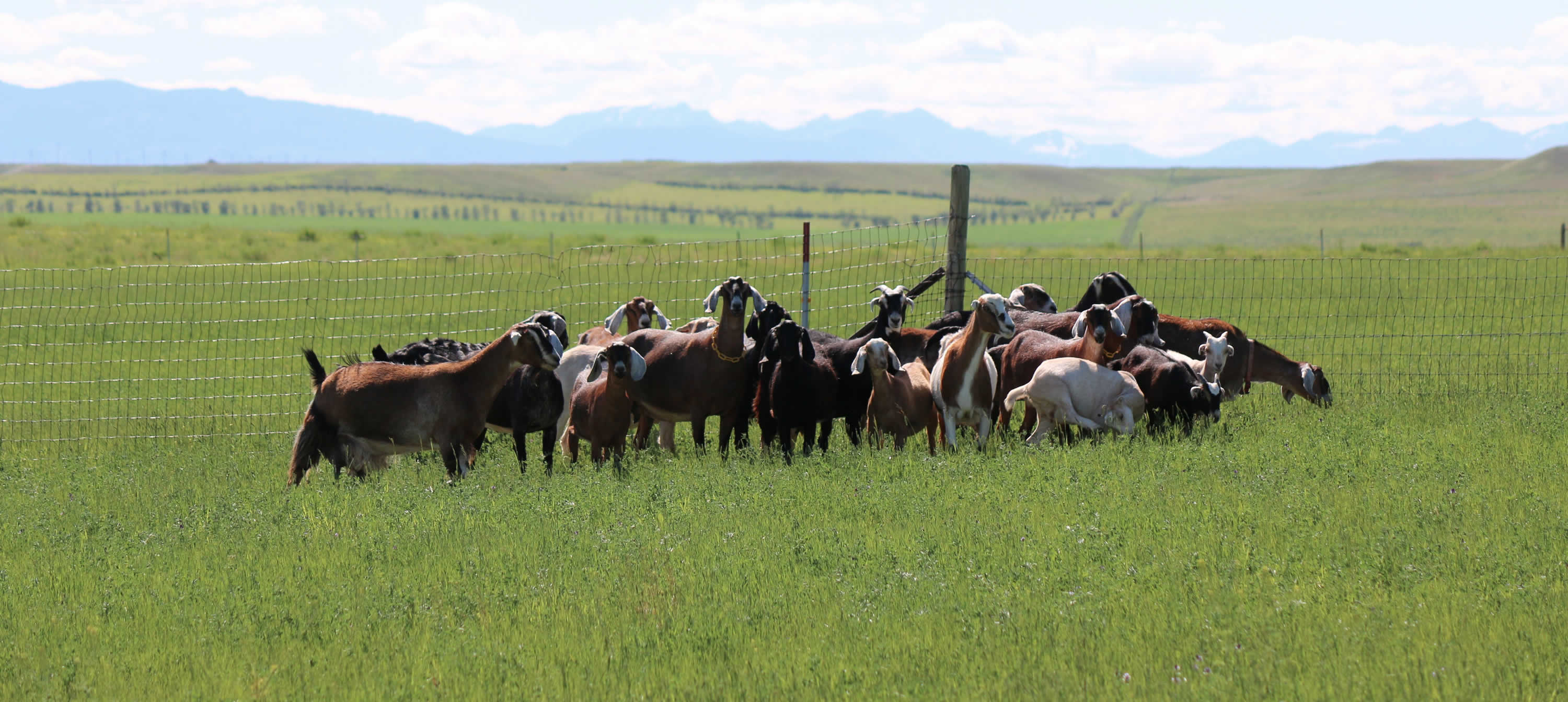 Herd of Nubian goats in Conrad Montana, home of Windrift Hill Goat Milk Soaps